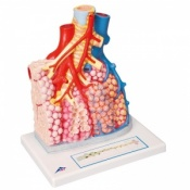Pulmonary Lobule with Surrounding Blood Vessels Model